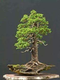 Bonsais are miniaturized versions of large trees and plants around the globe. Among the most popular bonsais is the trident maple bonsai. Bonsai Acer, Bonsai Plants, Bonsai Garden, Juniper Bonsai, Pine Bonsai, Bonsai Tree Types, Indoor Bonsai Tree, Ikebana, Plantas Bonsai