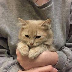 彡 grey cats pets cute Animals And Pets, Baby Animals, Funny Animals, Cute Animals, Funny Cats, Kittens Cutest, Cats And Kittens, Tier Fotos, Cute Creatures