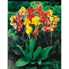 8-Count Mixed Canna Lily (Lb3461B)
