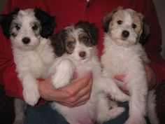 Adorable Maltese/Papillon Mix Male Puppies