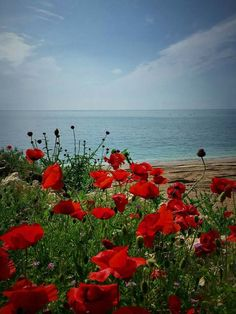 Romanian sea coast. Flanders Poppy, Flanders Field, Protea Art, Beautiful Flowers, Beautiful Places, All Nature, Belleza Natural, Red Poppies, Beach Pictures