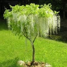 This is the original tree wisteria available as 6 ft tall grafted standards. Most people confuse tree wisteria with Bolusanthus speciosus which is not true. Garden Shrubs, Garden Edging, Garden Trees, Wisteria Tree, White Wisteria, Chinese Wisteria, Wisteria Pergola, Japanese Garden Plants, Japanese Garden Design