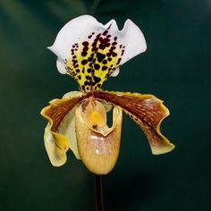 Paphiopedilum grex Leeanum
