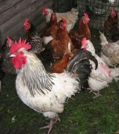 All About Chickens: What Breed of Chicken is Best for the Backyard Chi...