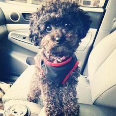 toy poodle lala ♥ A chocolate Luna!!