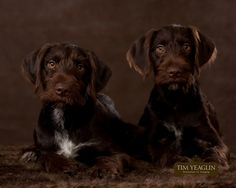 GWP - German Wirehaired Pointers by ~fotogrphr on deviantARY !Next puppy! Cute Puppies, Dogs And Puppies, German Wirehaired Pointer, Hunting Dogs, Four Legged, Pointers, Labrador Retriever, Cute Animals, Deviantart