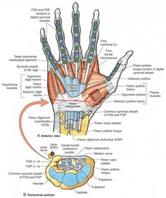 View of the wrist showing the flexor retinaculum at the wrist and the carpal tunnel where the median nerve passes and subsequently can become compressed resulting in carpal tunnel syndrome. Wrist Anatomy, Hand Anatomy, Human Body Anatomy, Human Anatomy And Physiology, Muscle Anatomy, Upper Limb Anatomy, Anatomy Study, Hand Surgery, Median Nerve