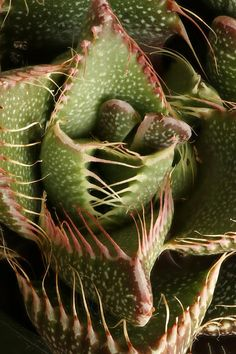Faucaria tigrina - South Africa www.photomacrography.net