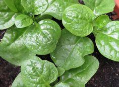 Malabar spinach Marie Viljoen ; Gardenista