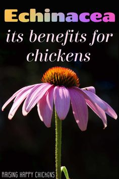 The benefits of echinacea for chickens - pin for later. Backyard Farming, Chickens Backyard, Growing Seeds, Growing Plants, Plants For Chickens, Magic Herbs, All About Animals, How To Attract Birds, Sun And Water