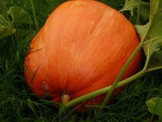 Krásně vyrostla i dýně... Pumpkin, Vegetables, Food, Pumpkins, Essen, Vegetable Recipes, Meals, Squash, Yemek
