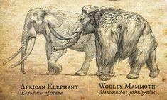 Design and Illustration for Pleistocene (Ice Age) specimens and fossils, natural history museum signage. Prehistoric Wildlife, Prehistoric World, Prehistoric Creatures, Spinosaurus, Extinct Animals, Dinosaur Art, Mundo Animal, Weird Creatures, African Elephant
