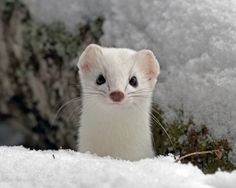 """Snow weasel – """"…they are also solitary and territorial. Neither sex will allow another weasel of the same sex in their home territory, though males will tolerate the presence of multiple females."""""""