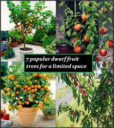 Dwarf trees that are commonly available include nectarine, olive, pear, peach, apricot, apple, cherry, fig, citrus and quince.A dwarf tree could be 8-10 feet however a miniature tree remains between 6-8 feet keeping it smaller. #fruitgarden
