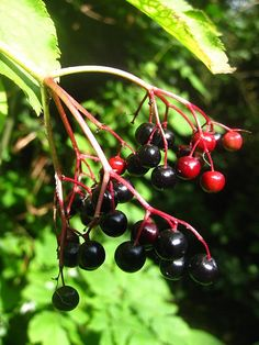 BBC - Nature UK: Nature's feast of early autumn fruits
