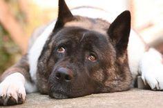 best breed - guard dog