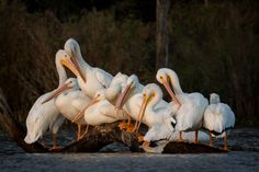 American White Pelican () Pile-up | by gseloff