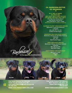 CH Barbossa-Rotvis OD Vadanora, BH  Vom Hause Harless Rottweilers Terry Tiller, Charlotte, NC Harlessrottweilers@carolina.rr.com 704-906-2379 www.harlessrottweilers.com  Vom Hause Earnest Rottweilers Matt EArnest, Atlanta, GA vherotweilers@gmail.com 678-630-9587 www.vomhauseearnest.com