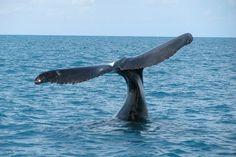 Baleias jubartes são personagens comuns no Parque Nacional Marinho dos Abrolhos. Foto: Izabel Reigada