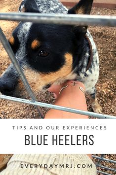 Madison Rose, Cattle Dogs, Exercise, Posts, Blog, Animals, Ejercicio, Messages, Animales