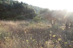 Olive grove, Zakynos (?)