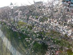 PhantomⅡテスト飛行時(Apr.9 2014)  搭載カメラより撮影した  信濃川左岸の桜(2)