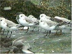 shorebirds - Google Search