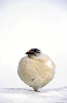Rock Ptarmigan with Winter plummage, Denali National Park, Alaska. -- Fat Birds! Tumbler -- Priyanka Bose