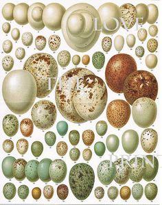 BIRD EGGS 8x10 Art Print C3 Beautiful Antique Bird Eggs Aqua White Golden Brown Chart Decoration Wall Hanging. via Etsy.