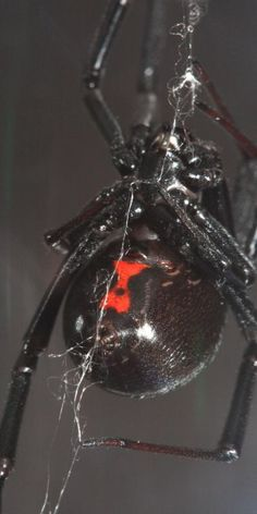 This is what a black widow spider looks like. Give this discription to the ER so they know what anti-venom to give you.