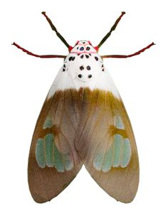 Amerila nigropunctata ~ETS #moth
