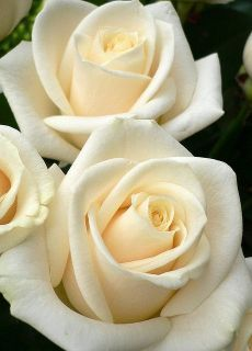 """""""I once was given a gift, a white rose, little did I know what its petals would unfold. White Wedding Flowers, All Flowers, Pretty Flowers, Wedding White, Blooming Flowers, White Roses, White Flowers, Cream Roses, Ivory Roses"""