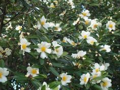 Gordonia axillis 'fried egg plant'
