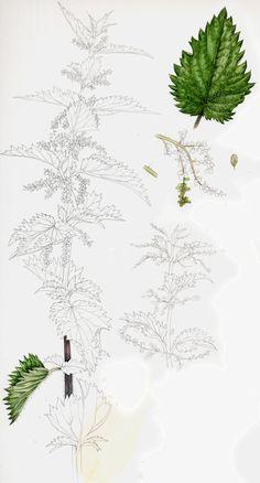 Nettle sketchbook botanical illustration by Lizzie Harper natural history illustrator