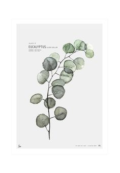 My Deer Art Shop- Eucalyptus Poster Illustration Botanique, Plant Illustration, Botanical Illustration, Botanical Drawings, Botanical Prints, Botanical Tattoo, Watercolor Plants, Watercolor Paintings, Impressions Botaniques