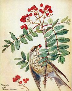 Song thrush and rowan berries - Morning Earth Artist/Naturalist Edith Holden