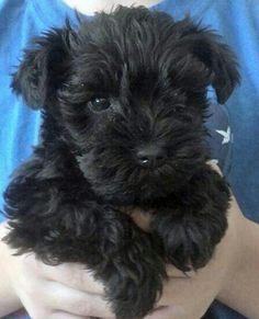 Black mini Schnauzer