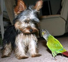cute, but totally unrealistic lol.the yorkie would have pounced on the birdie by the time the picture was taken ;) Neat they are little hunters. Cute Animal Photos, Funny Animal Pictures, Dog Pictures, Funny Animals, Cute Animals, Animal Pics, Wild Animals, Baby Animals, Yorkies