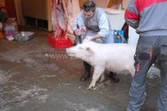 Omráčení prasete :: Zabijačky Goats, Animals, Animales, Animaux, Goat, Animal, Animais