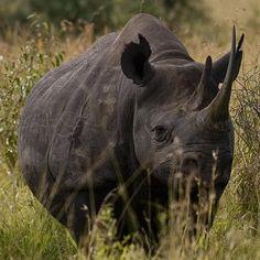 Rhino.  Endangered.