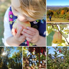 Apple picking at Carter Mountain Orchard. Charlottesville, Virginia. By Calm Cradle Photo & Design