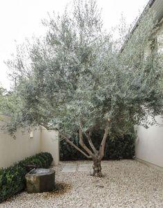Olive Tree by Matthew Williams
