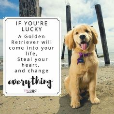 If you're lucky a Golden Retriever will come into your life. Steal your heart, and change everything. Beste Golden Retriever Foto's. #Goldenretriever #Golden #Retriever.