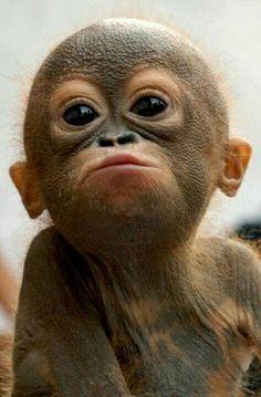 orangutan - adorable baby monkey or old man with a bad tan? Primates, Cute Baby Animals, Animals And Pets, Funny Animals, Cute Monkey, Monkey Food, Monkey Baby, Tier Fotos, Cute Animal Pictures