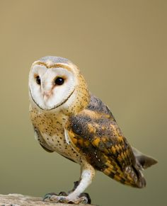 Picture of a barn owl.