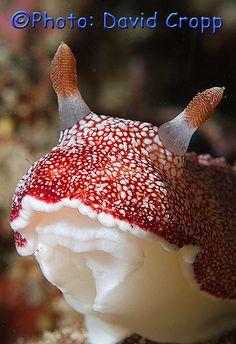 Nudibranch  Sulawesi