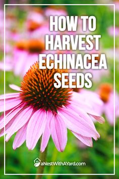 Planning to grow drought-tolerant coneflowers from seed? Our article teaches you how to harvest echinacea seeds and preserve them for future planting. #echinacea #seeds #flowers #coneflower