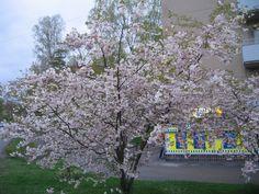 "Koristekirsikka - Prunus `Accolade` / (""Kevätsuudelma"") 150-200 Prunus, Varanasi, Malm, Fruit, Beautiful, Brushes, Trees, Google, Tree Structure"
