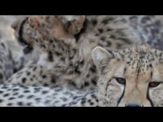 Protecting Cheetah in the Wild:  An Interview with CCB #NikelaAfrica