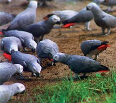 African grey parrots feeding in the wild.